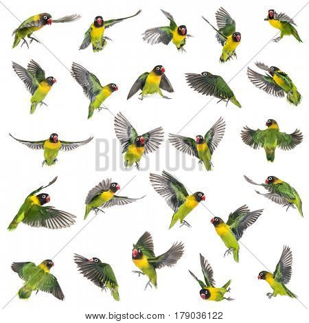 Collection of Yellow-collared lovebirds flying, isolated on white