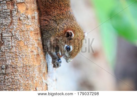 Squirrel is eating peanut or bean on tree.