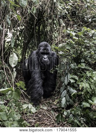 silverback mountain gorilla in the Virunga National Park, Africa, DRC, Central Africa.