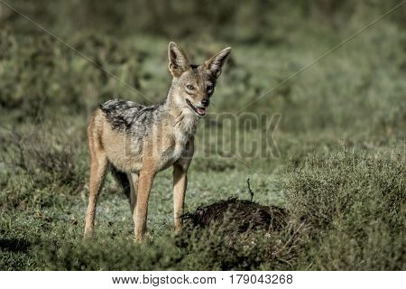 Jackal eating, in Serengeti National Park