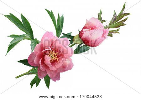Pink peony flowers isolated on white background