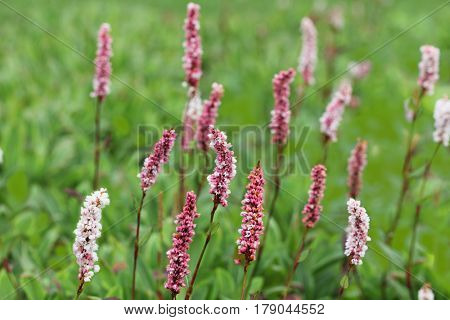 Long-bristled Smartweed (Oriental Lady's-thumb) Polygonum caespitosum wild flower on the field