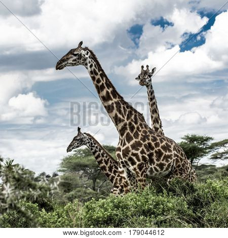 Giraffes in Serengeti National Park, africa