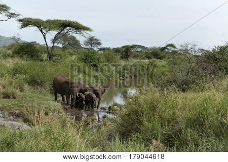 Elephants and calfs drinkink in watercourse in Serengeti National Park