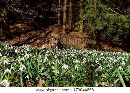 Amazing blooming snowdrops in a forest near rotten tree trunk. Snowdrops