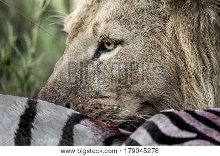 Lion eating zebra in Serengeti National Park