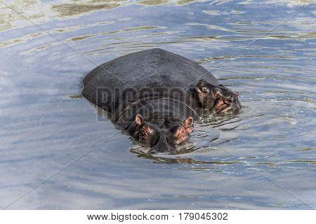 Hippopotamus and calf swimming in river in Serengeti National Park