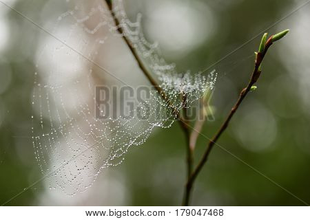 Spiderweb in droplets of water after rain on a willow branch with green buds