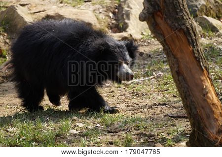 sloth bear wandering in zoo (Melursus ursinus)
