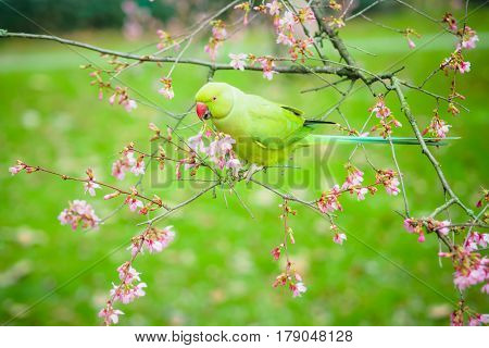 The view of the green rose-ringed (ring necked) parakeet Psittacula krameri eating flowers in the tree on the blurred background