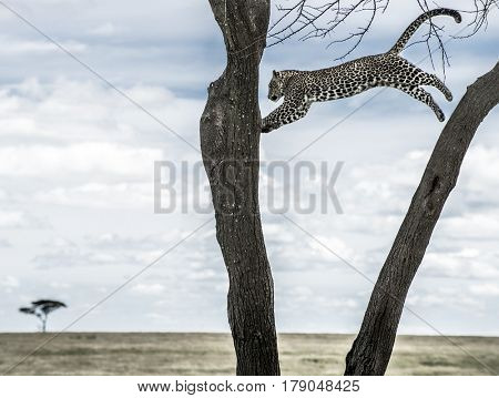 Leopard jumping between trees in Serengeti National Park