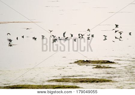 Water birds (Tring sp.) during wintering (Italy, Valle Cavanata nature reserve).