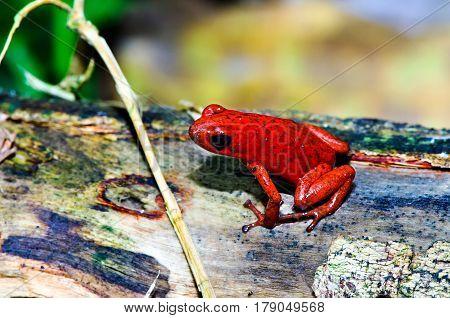 The strawberry poison frog (Oophaga pumilio) shot in rainforest of Costa Rica (Grandoca-Manzanillo wildlife refuge).