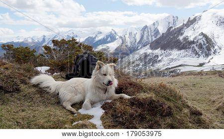 the beautiful Pyrenean Mountain dog, mountain background
