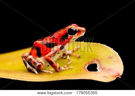 Strawberry poison arrow frog from Red Frog Beach on Bocas Del Toro, Panama.