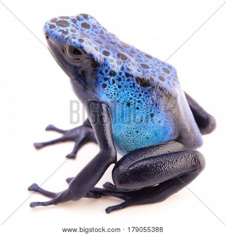 Dendrobates azureus, poison dart or arrow frog from the tropical Amazon rain forest in Suriname. A vivid blue animal isolated on a white background.
