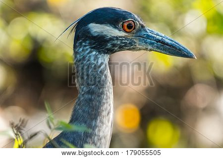 Head of the yellow crowned night heron (Nyctanassa violacea) in the wild, with green grass background