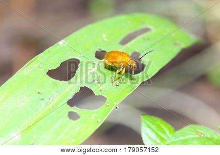Close up of Cucurbit Beetle on green leaf