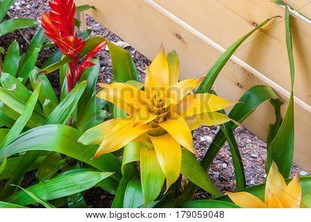 Closeup To Beautiful Yellow Bromeliad/ Livingvase/ Urn Plant/ Aechmea Fasciata/ Bromeliaceae