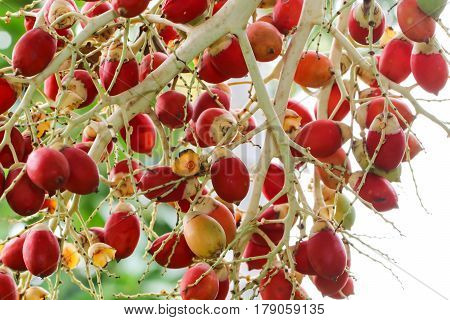 Close up of red dates hanging from a palm
