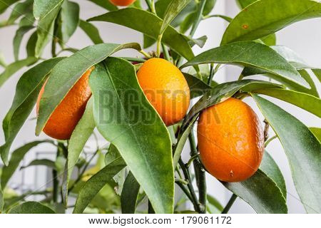 Closeup Of A Kumquat Tree With Fruits