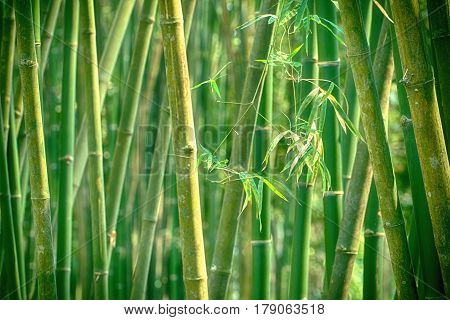 Fresh bamboo tree in the forest,nature concept
