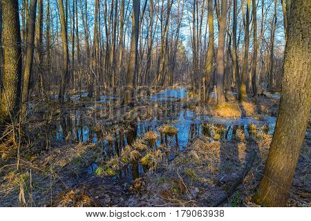 Early spring on a swamp in the forest. The blue sky is reflected in the puddles. March landscape. Spring came.