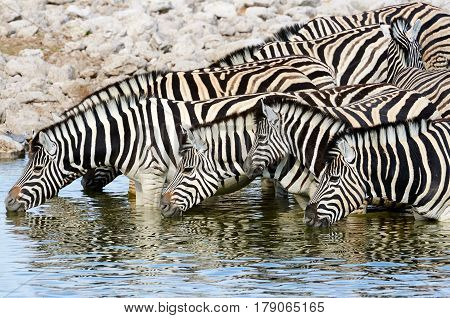 Herd of zebras drinking at a waterhole in Namibia