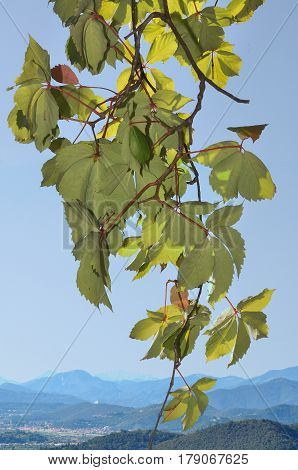 Parthenocissus leaves on blue sky with distant view of mountains