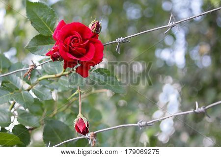 Red rose and a fence of barbed wire. Symbol