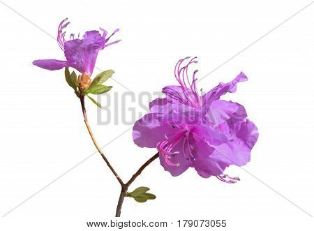 A close up of the flowers of rhododendron (Rhododendron mucronulatum). Isolated on white.