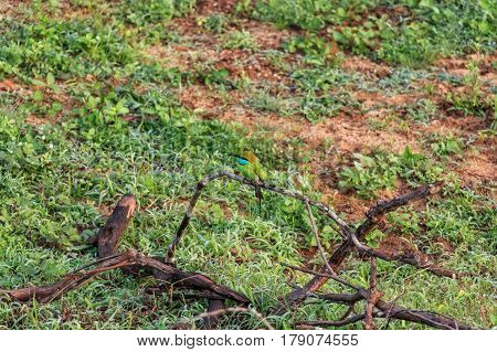 Close up of green bee-eater or Merops orientalis sitting on dry branch in Sri Lanka