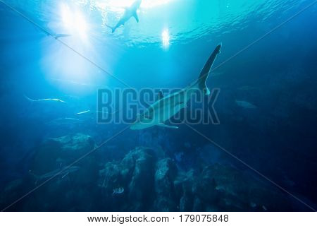 Shark in the ocean. Coral reef underwater with water line. Shark with Sunbeams shining through surface in aquarium poster
