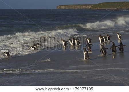 Large group of Gentoo Penguins (Pygoscelis papua) heading for a short early morning swim in the sea on Sealion Island in the Falkland Islands. Magellanic Penguins in the foreground