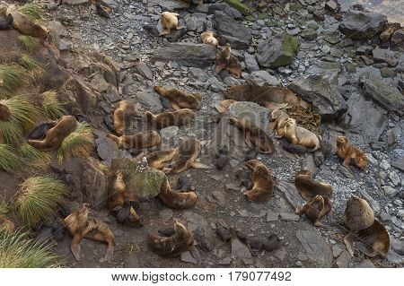 Breeding group of Southern Sea Lions (Otaria flavescens) with pups on the coast of Sealion Island in the Falkland Islands.