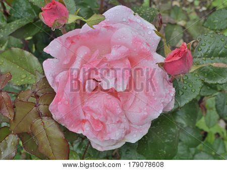 A close up of the flower pink rose with raindrops on petals.