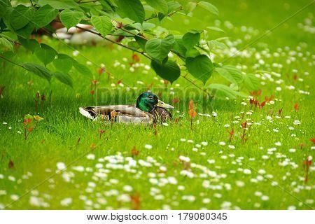 Mallard (Anas platyrhynchos) drake resting among the daisies as background