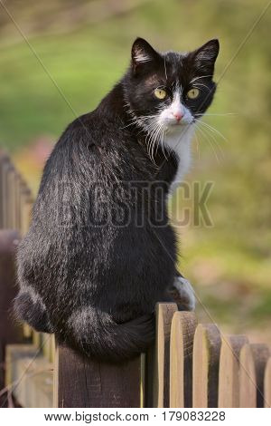 Domestic Cat (Felis catus) sitting on a fence