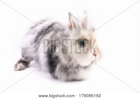 Dwarf rabbit female on a white background