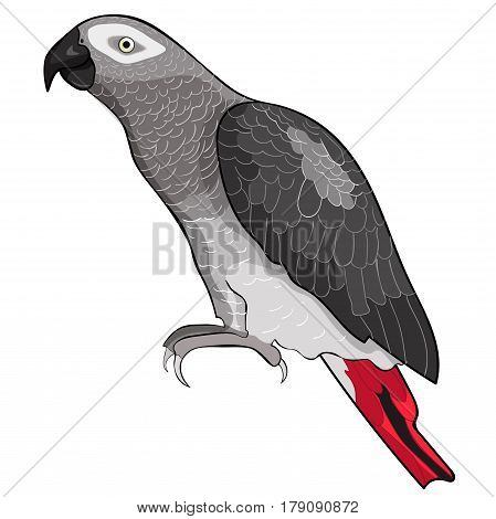 Jaco Parrot The Red-with Shadows Africa. Vector Illustration