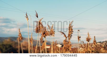 Dried Overgrown Sedge Sways In The Wind In Autumn