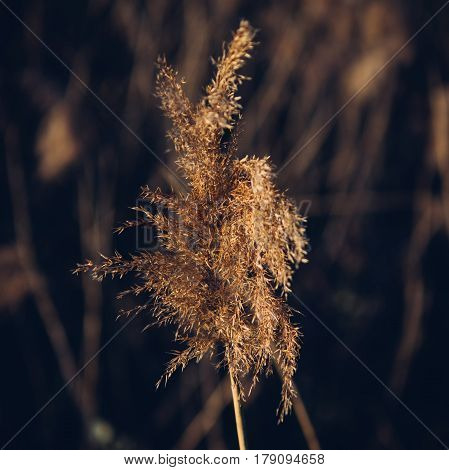 Close up shot of single dried sedge