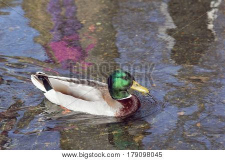 A duck swimming in the water and colorful reflections