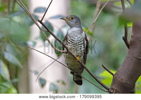Indian cuckoo Cuculus micropterus Cute Birds of Thailand