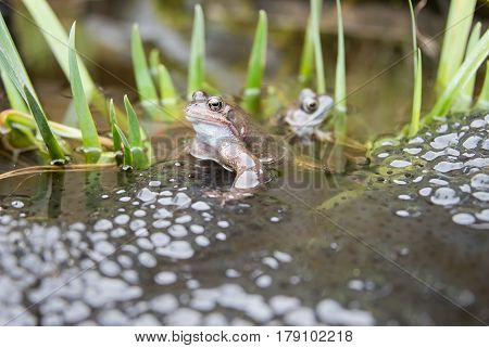 Two Frogs in a pond laying Frogspawn.