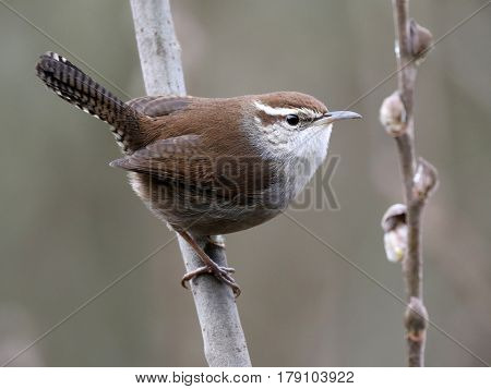 Profile of a Bewick's Wren perched on a branch