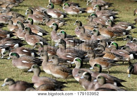 A flock of American Wigeons on grass