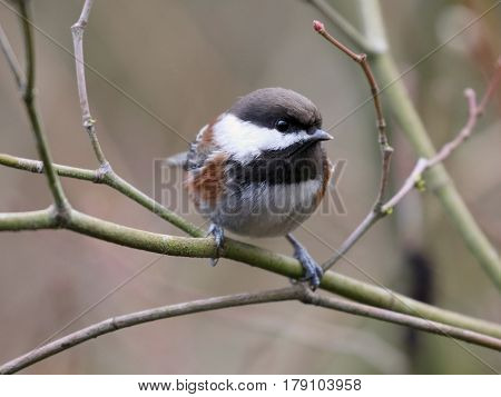 A Chestnut-backed Chickadee perched on a branch in the forest