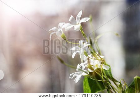 Closeup photo of white spring flowers - Oxalis acetosella in the sunlight. Soft backlight. Shallow focus.