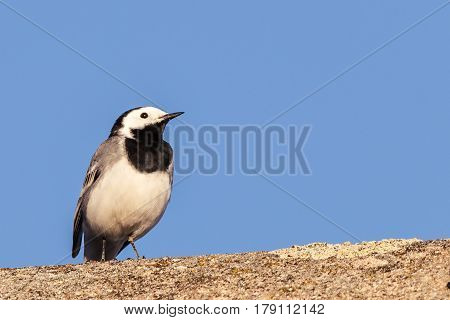 Single Black An White Wagtail Bird Sits On The Roof
